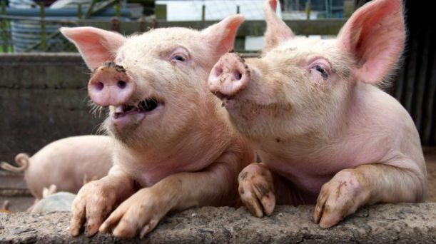 Funny-pigs-in-sty-leaning-on-wall-via-Shutterstock-615x345