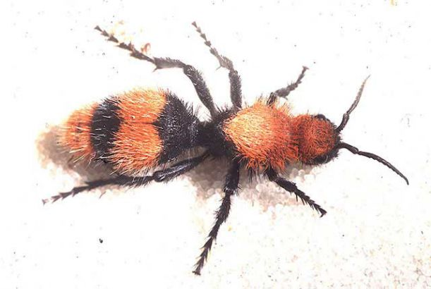 velvet_ant_insects_tamu_edu