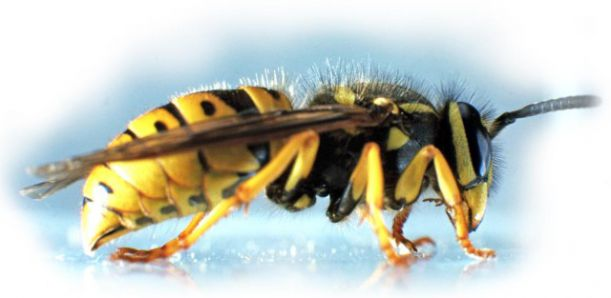 wasp_creepycrawlies_info