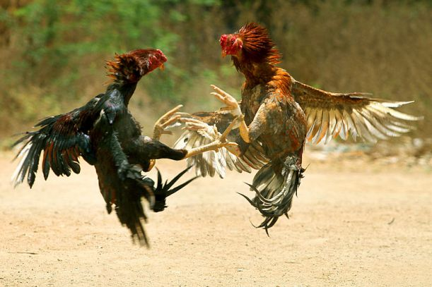800px-COCK_FIGHT