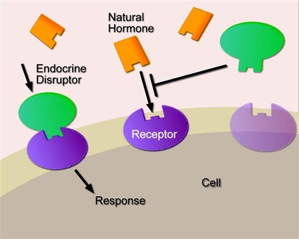 Jak tzv. endokrinní disruptory poškozují funci hormonů?