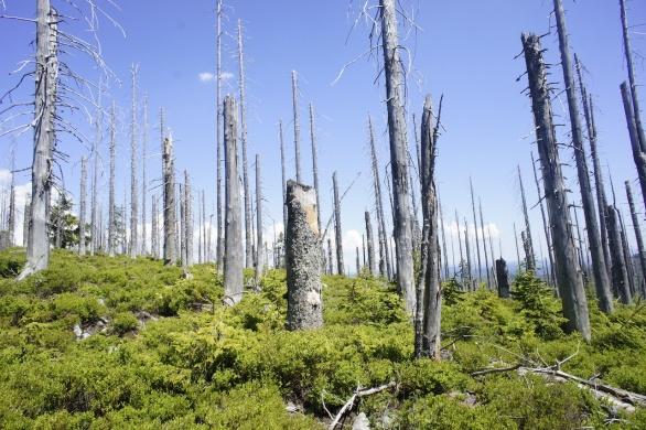 Mrtvé lesy na Šumavě