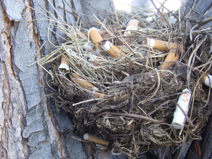Ani to sem nikdo nemusel schovávat, mnozí ptáci si to sbírají sami – a podle vědeckých výzkumů mají pak zdravější mláďata, protože látky ve filtru z vykouřené cigarety zabíjejí jejich parazity. To jako vážně!