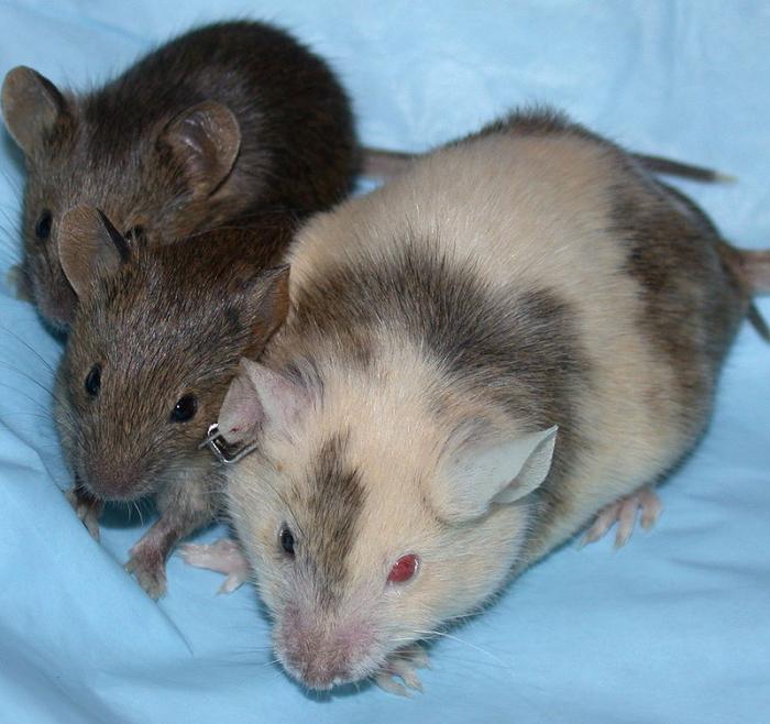 Myš chiméra (patrné to je na nepravidelném zbarvení pokožky) a její potomci.