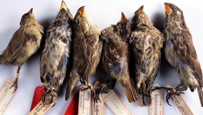 Britské přírodovědecké muzeum stále vlastní mrtvé ptáky, které vlastnoručně zabil a vycpal Charles Darwin.