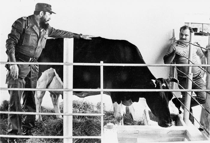Fidel se svou milovanou krávou.
