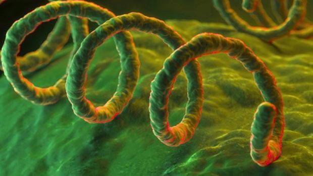 Bakterie Treponema pallidum způsobující syfilis