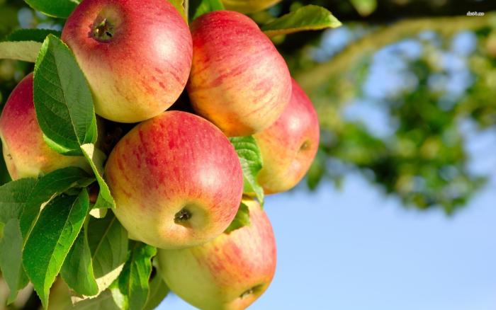 Tahle jablka nevyrostla planě.