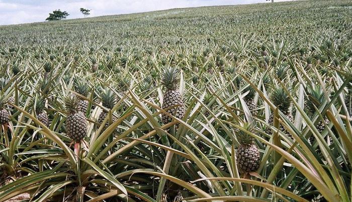Pole s ananasy je často podobně toxické jako odpadní trakt chemičky.