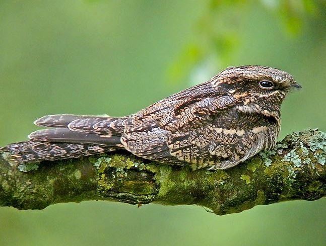Lelek - malý líný pták, jehož chytání je zbytečné.