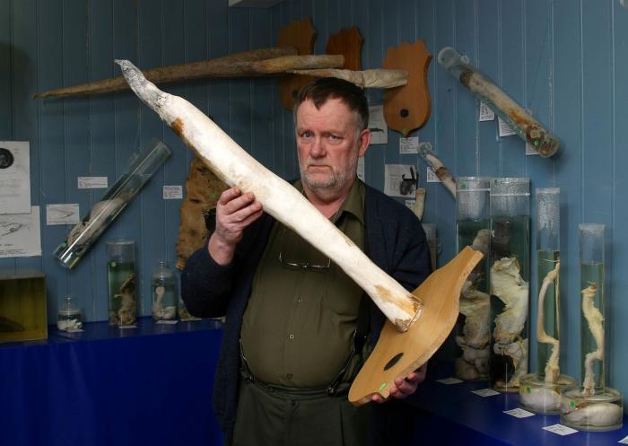 V muzeu jsou vystaveny penisy 204 živočišných druhů. Tohle je mroží 'penisová kost' (lat. os penis)