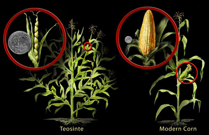 Srovnání dnešní kukuřice a její předchůdkyně.