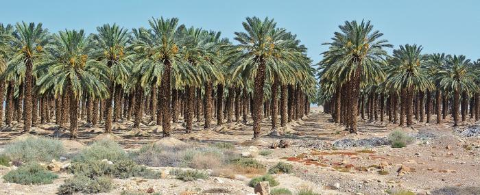 Jedna jediná datlová palma vypije až 1200 litrů vody za den. Ta nepochází jen z řeky Jordánu, hlubinných studní, ale také z odsolovacích zařízení. Je to drahý špás, ale stále se vyplatí.