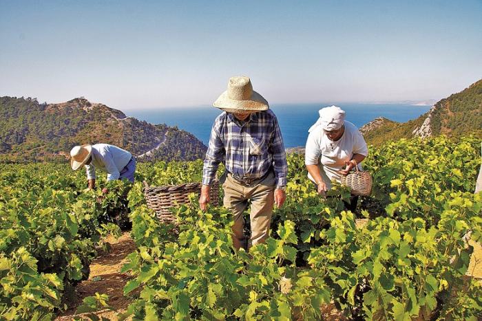 Fyzicky náročná sklizeň sladkého muškátového vína v samoských horách.
