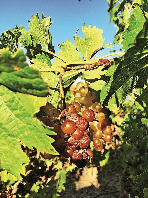 Žlutý muškát – kořeny této révy sahají až několik desítek metrů pod povrch, kde pátrají po vzácné vlhkosti.