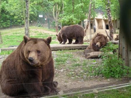 Obyvatelé medvědária v Berouně: Kuba, Vojta (†) a Matěj