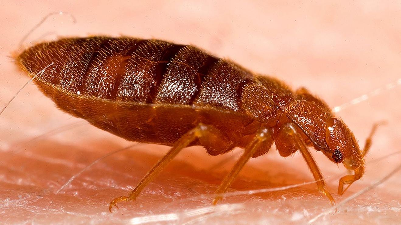 paraziti v posteli