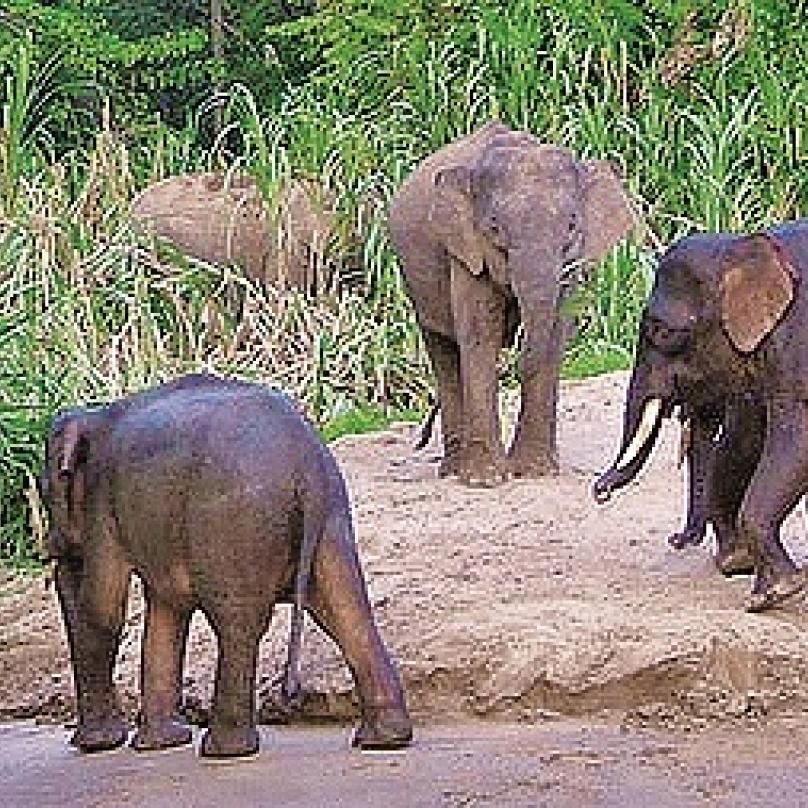 Řeka Kinabatangan, Borneo, Malajsie – vdžungli obklopující nejdelší tok na malajsijském Borneu vedou bezpečné pěší stezky nebo se sem můžete vydat loďkou po řece avedle orangutanů, varanů anosatých opic kahau tu uvidíte tyhle malé 'pygmejské' sloníky.