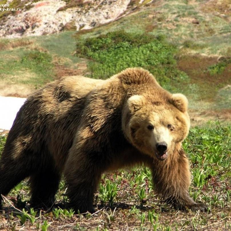 Pravý muž se porve s medvědem holýma rukama. Sice umře, ale umře se ctí