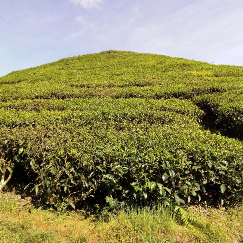 Čajové keří pokrývají i místní kopce