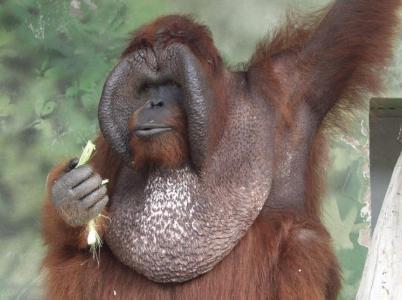 Orangutan Ňuňák byl českou opičí filmovou legendou.
