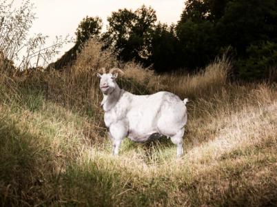 """Koza domácí (Capra aegagrus hircus) je menší sudokopytník chovaný pro mléko a maso téměř po celém světě. """"My jsme si pro naše focení vybrali českou bílou kozu jménem Ofélie, která váží 50 kg. Obézní koza má na finální fotografii zhruba 120 kg."""""""