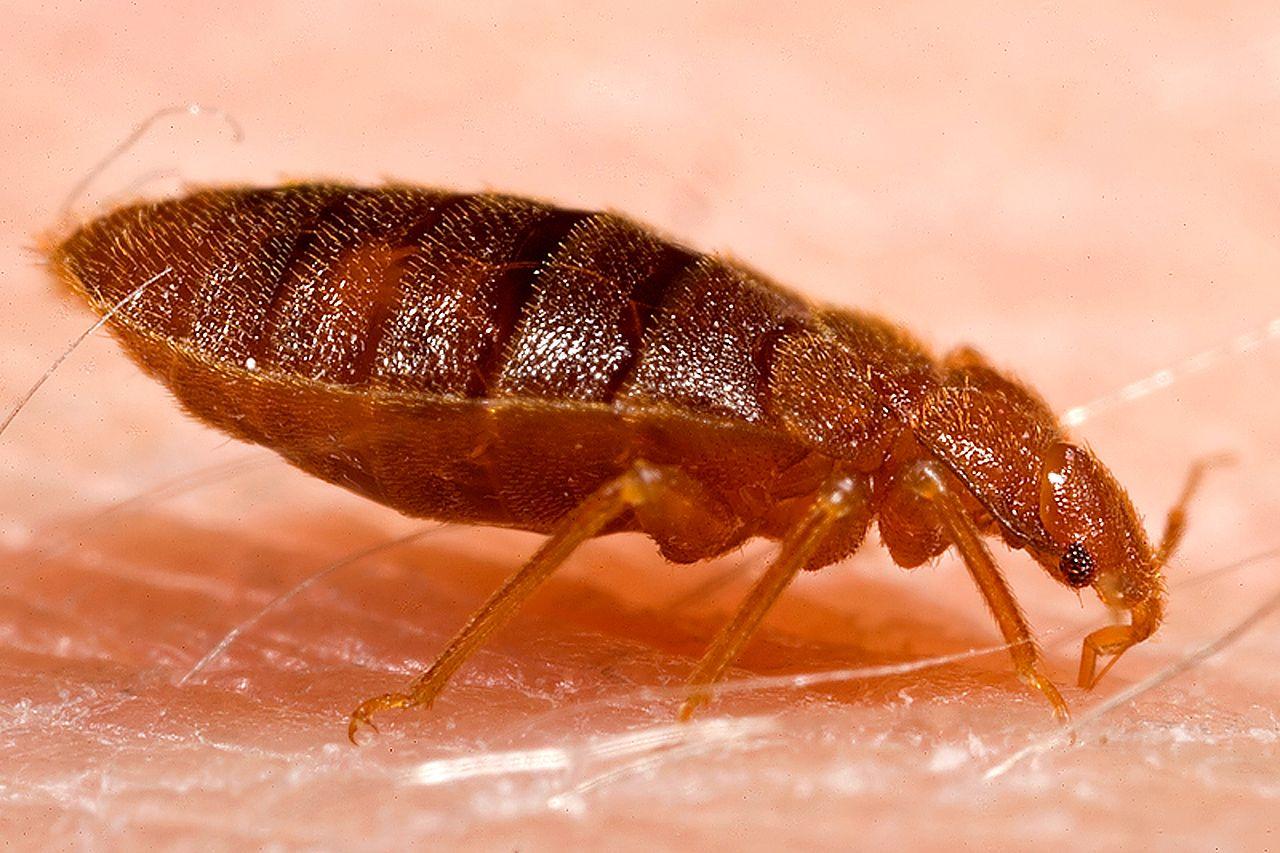 Štěnice postelní je odporný parazit