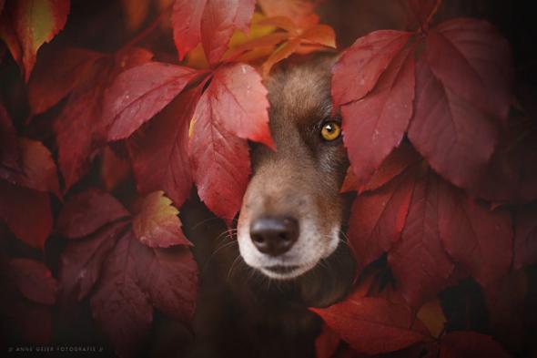 Rakouská fotografka Anne Geier dostala skvělý nápad propojit krásu barevného podzimu a čtyřnohých mazlíčků.